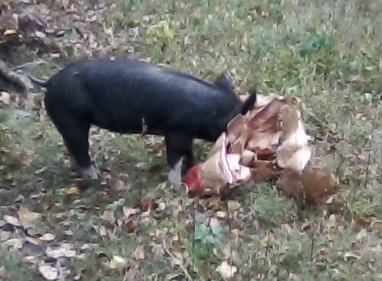 Curious pig plays with feed sack pulled under the fence